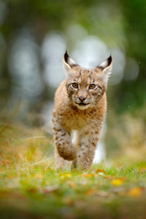 Photo sur Plexiglas Lynx Young Lynx in green forest. Wildlife scene from nature. Walking Eurasian lynx, animal behaviour in habitat. Cub of wild cat from Germany. Wild Bobcat between the trees.