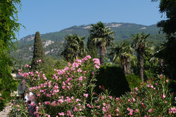 A magnificent bush with pink small flowers against the background of green cypresses and palms