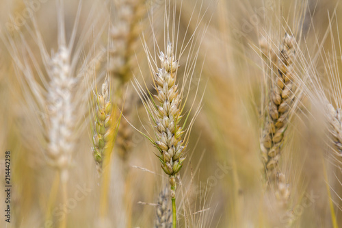 Close Up Of Warm Colored Golden Yellow Ripe Focused Wheat
