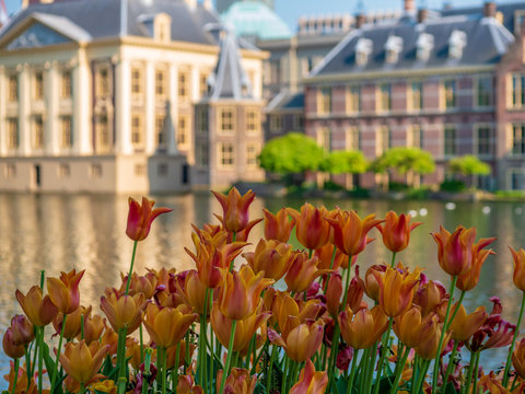 Orange tulips in front of the Dutch parliament. Behind the pond is the Mauritshuis and the office of the prime minister.
