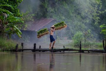 Asia farmer planting rice in the rainy season