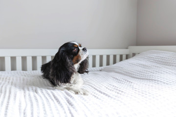 Cavalier spaniel lying on the bed