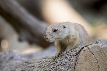 Black-tailed prairie dog (Cynomys ludovicianus) watching from nearby burrow