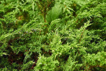 Green juniper in the garden at close range