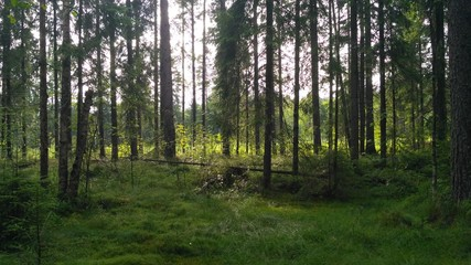 russian forest, trees, plant and grass in saint-petersburg