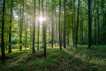 A beautiful beech forest with sun rays