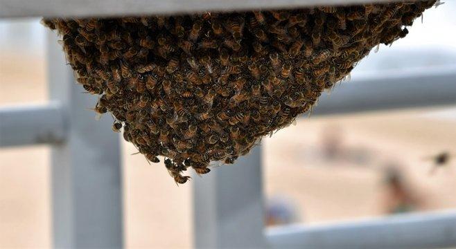 Honey bees swarming around the queen bee