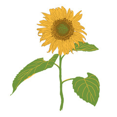 isolated blooming sunflower vector illustration