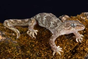 Southern Alps gecko (Woodworthia sp.)