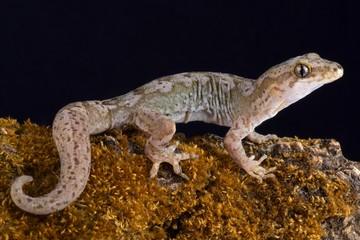Pacific gecko (Dactylocnemis pacificus).