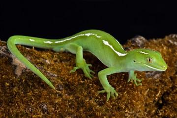 Auckland green gecko (Naultinus elegans)