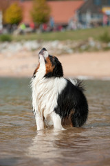 Australian Shepherd steht im Wasser und sieht nach oben
