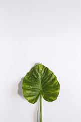 Leaf of tropical plant inside in white background.Isolated