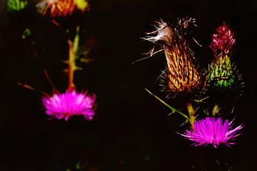 Fiori di Cardo selvatico color rosa fucsia