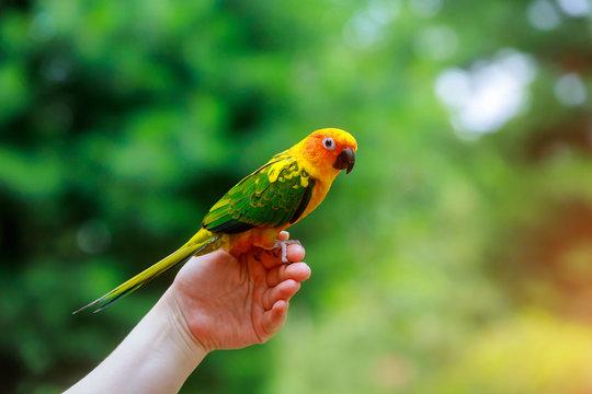 Adorable sun conure parrots on hand
