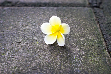 Yellow white frangipani flower on the floor