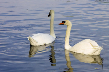 Swans swimming in a lake reservoir in  park.
