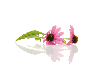 Echinacea flower and leaves isolated.