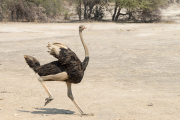 Young male ostrich running in the Mahango Game Reserve, Namibia