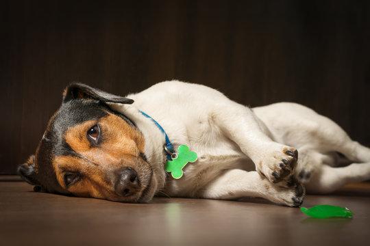 Dog lying on the floor with sad eyes