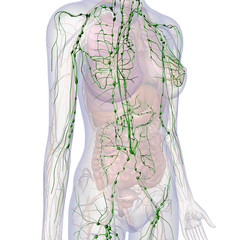 Lymphatic System Internal Anatomy in Female Chest and Abdomen