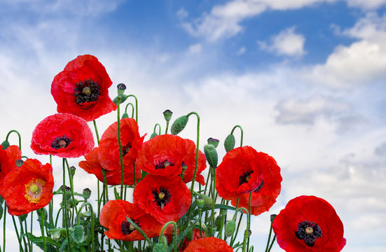 Flowers red poppies (Papaver rhoeas, common names: corn poppy, corn rose, field poppy, red weed, coquelicot ) on a background sky with clouds