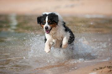 Australian Shepherd rennt durchs Wasser