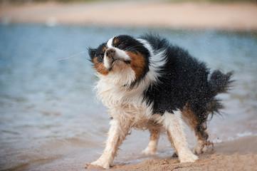 Australian Shepherd schüttelt sich am Strand
