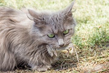 A gray pussy caught a mouse, the cat holds a mouse in her mouth_