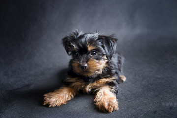 A small Yorkshire terrier puppy. Studio shot on a black background.
