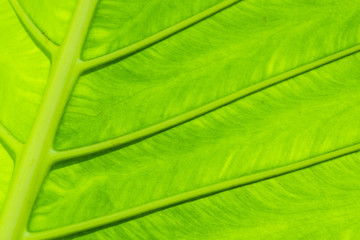 Tropical leaf texture, large palm foliage