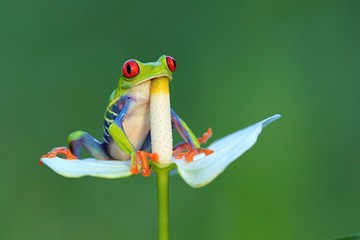 Photo sur Plexiglas Grenouille Red eyed frog, Agalychnis callidryas a arboreal hylid native to tropical rainforests in Central America in panama and costa rica . Mistakenly also called the Green Tree Frog