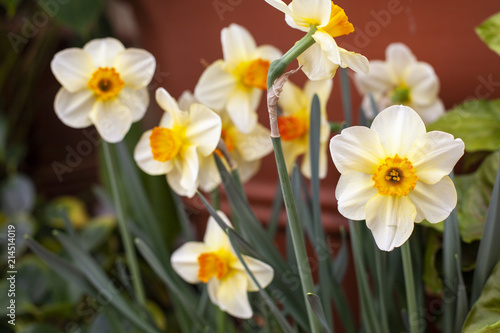 White flowers with yellow center stock photo and royalty free white flowers with yellow center mightylinksfo