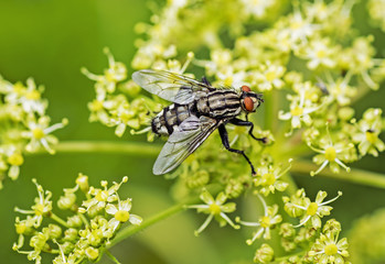 big black fly on flower. Sunny summer day.