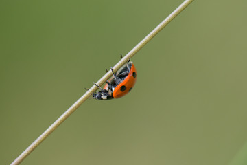 Ladybug on a Straw no People, green Background