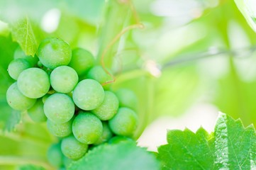 Growing bunch of green grapes in summer vineyard, closeup in southern Italy.