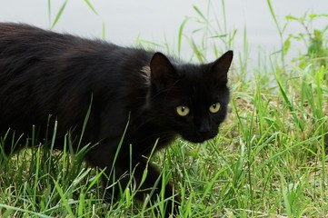 black cat in the tall green grass on the street