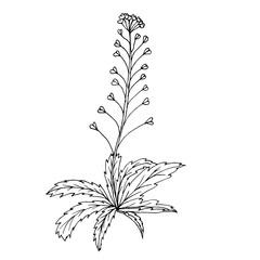 Doodle shepherd's purse medicinal plant black outline