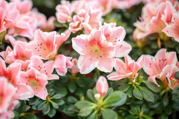 Fotobehang Azalea Beautiful blooming azalea flowers, closeup. Tropical plant