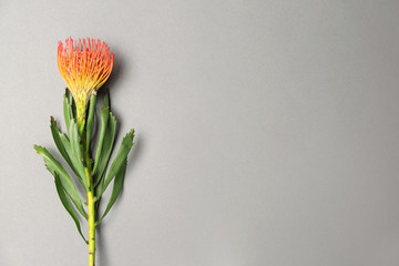 Beautiful protea flower on gray background. Tropical plant
