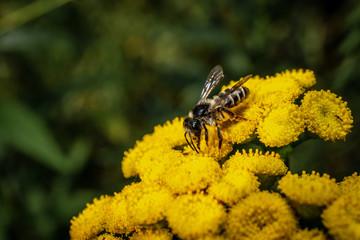 Bee closeup on a macro flower macro