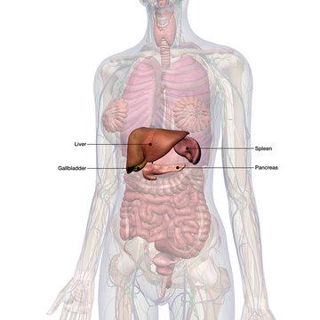Liver, Gallbladder, Pancreas, Spleen Labeled in Female Internal Anatomy