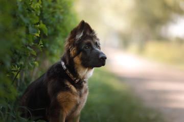 portrait of a German Shepherd puppy, dog outside