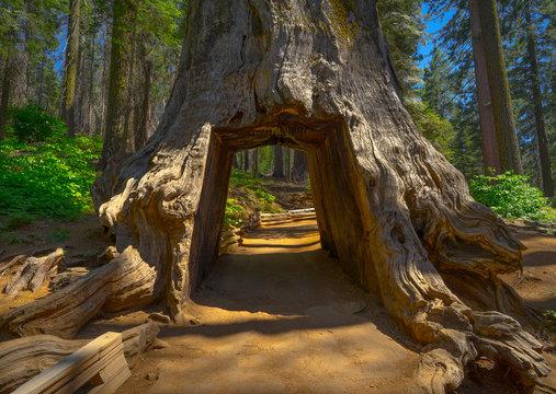 Drive Through Tunnel Tree, a Giant Sequoia on Trail of Yosemite's Tuolumne Grove