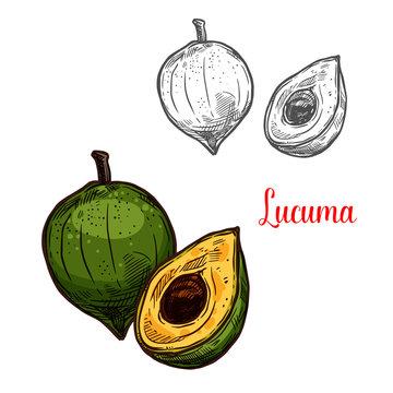 Lucuma vector sketch tropical fruit