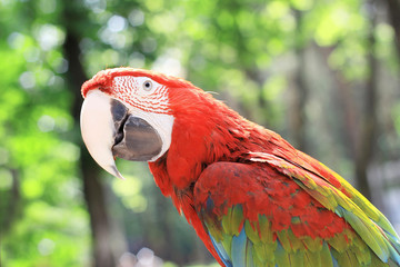 close up.beautiful red macaw parrot on blurred background