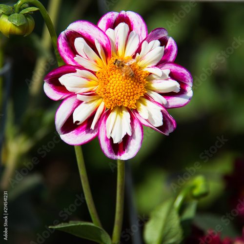 Pink and white aster flower with a bee pollinating yellow center pink and white aster flower with a bee pollinating yellow center white petals surrounded mightylinksfo