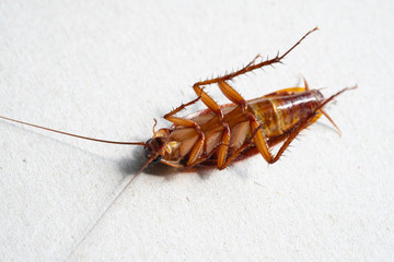 close up of cockroach on white background.