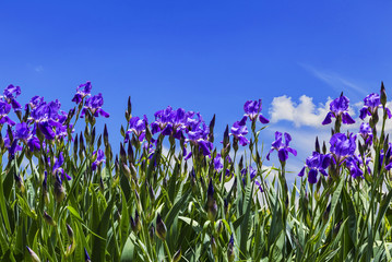 Purple irises on a background of blue sky with the clouds