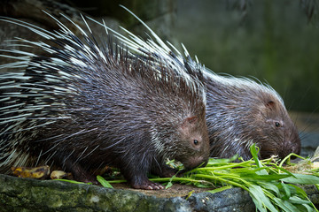 Malayan porcupine, (Hystrix brachyura)   eating food in the zoo.